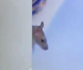Rato aparece e movimenta a casa do BBB20